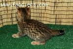 5 Beautiful F2 Savannah Kittens 3 Female, 2 Male